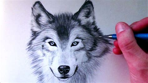 Drawing Wolf by How To Draw A Wolf