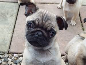 Pugs For Sale In Pin Pugs For Sale Jenks On