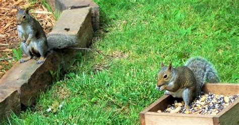 Keep Squirrels Out Of Garden by Yard And Garden Secrets Keep Squirrels Out Of Bird Feeders How To