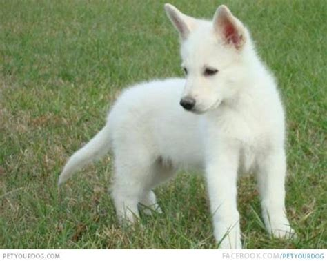 american white shepherd puppies american white shepherd pictures wacky or