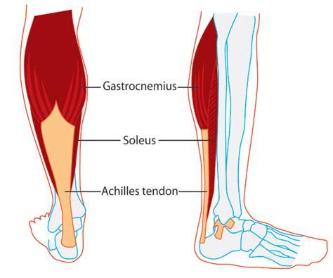 calf diagram calf anatomy