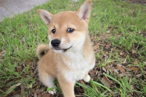 shiba inu puppies for sale in florida shiba inu puppy stark puppies in florida