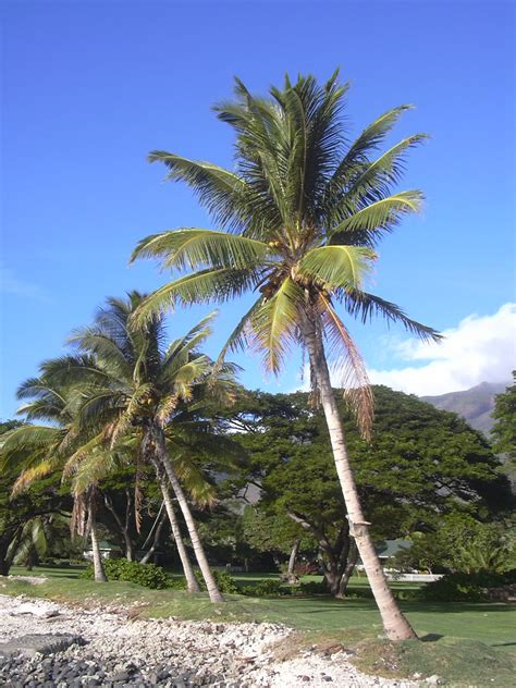 Tropical Climbing Plant - coconut palm photo page