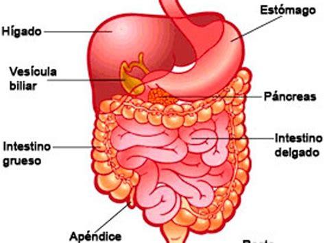 imagenes del sistema digestivo dibujo sistema digestivo fotos radio ranchera