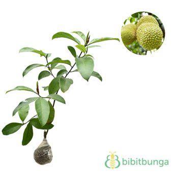 Bibit Okulasi Cempedak Aroma Durian Type A tanaman cempedak durian bibitbunga