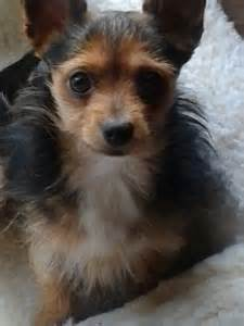 haired dorkie mixes 24 best images about yorkie chihuahua mixed puppies on