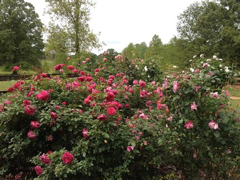 rose rosette disease what to do when you get it fine