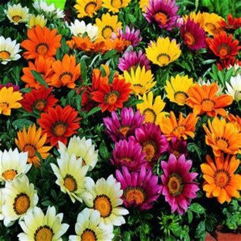Bunga Gazania Mix 2 gazania seeds treasure flower gazania rigens flower seed mix