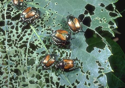 how to get rid of japanese beetles bugs and garden pests farmer s almanac