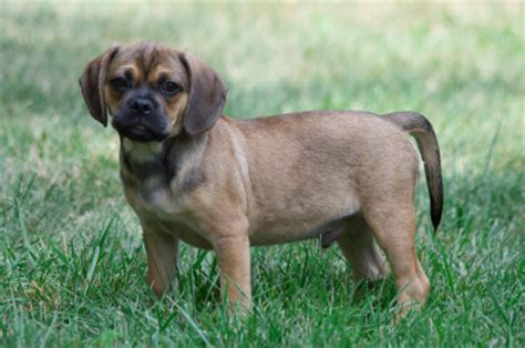 do pugs need a lot of exercise pugalier designer dogs