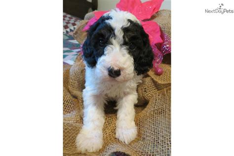 goldendoodle puppies for sale in florida breeds types of small breeds small breeds doodle breeds