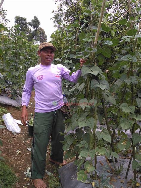 Benih Kacang Panjang Pertiwi tetap tersenyum dengan buncis pertiwi benih pertiwi