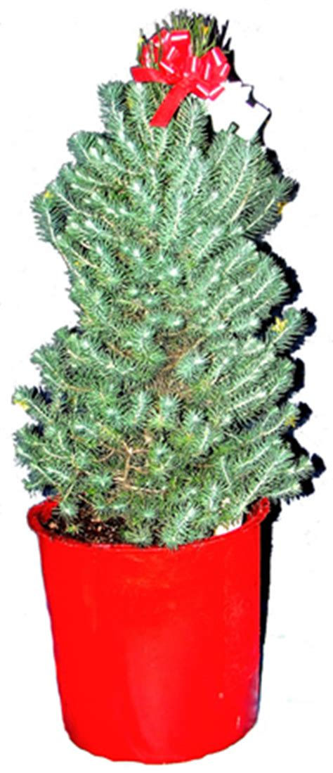 how to make a self water pot for s small potted christmas