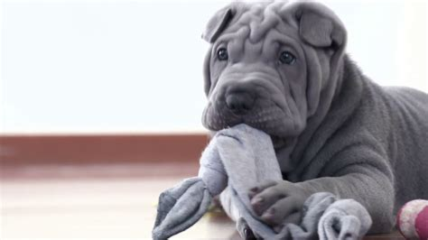 grey shar pei puppy shar pei pup with its rag shar pei with a one blue grey sharpei