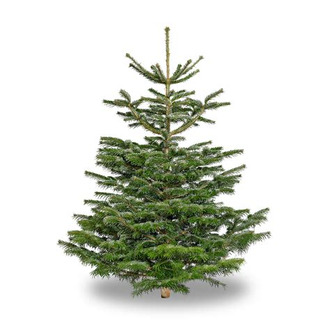 nordmann fir 9 foot peninsula stone