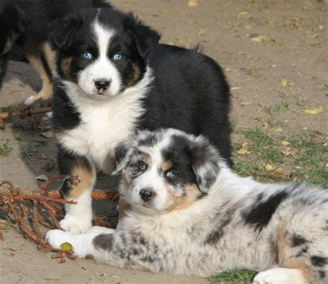 pros and cons of getting two puppies should you get one puppy or two