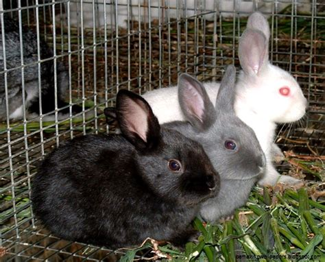 pet varieties pet rabbit breeds www imgkid the image kid has it