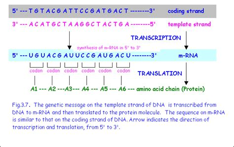 2 Rna Sequence From Dna Template