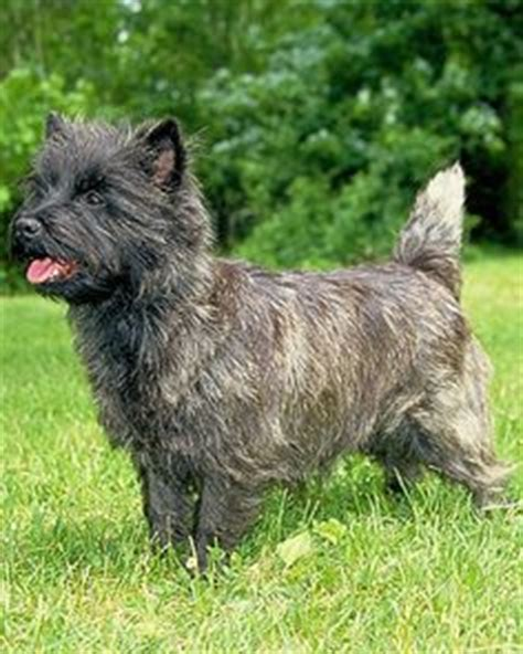 toto breed pics for gt toto wizard of oz breed of
