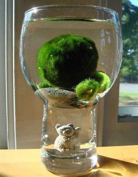 Pot Terrarium Vas Terrarium Aquarium Kaca Mini Garden Miniature 1 i marimo and i want one with a glass quot aquarium quot xd the maneki neko doesn t hurt either
