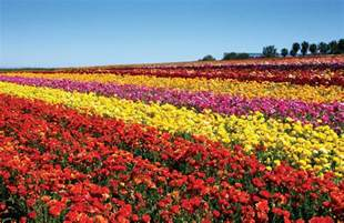 Carlsbad Flower Garden Carlsbad Ranch Flower Fields Feature 50 Acres Of Ranunculus Flowers March 1 Through May 12 San