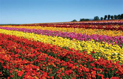 Flower Garden Carlsbad Carlsbad Ranch Flower Fields Feature 50 Acres Of Ranunculus Flowers March 1 Through May 12 San