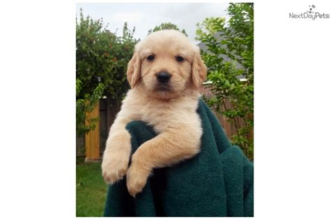 golden retriever houston tx golden retriever puppy for sale near houston 022059a0 3e31