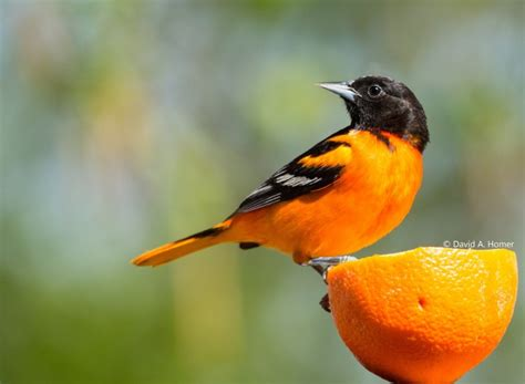 picture of a oriole bird bird baltimore oriole the couchiching conservancy