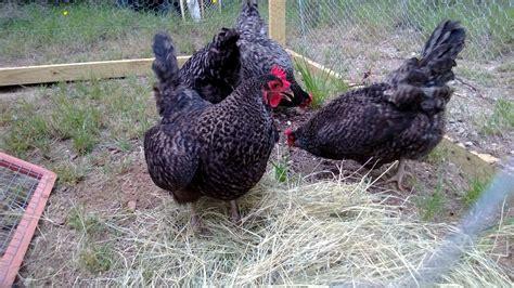 backyard chicken blog backyard chickens urban chicken podcast