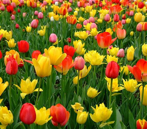Flowering Plants Tulip Seeds Potted Flowering Plants Indoor Potted Plants