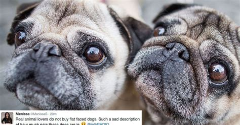 why are pugs faces flat make the pug this is why you shouldn t buy flat faced hounds clicker