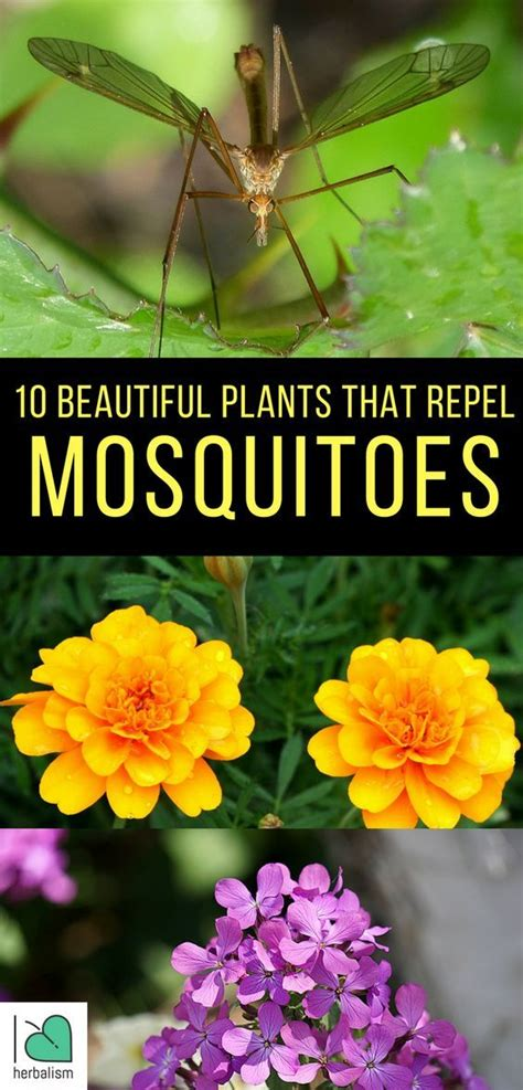 what plants keep mosquitoes away 25 best ideas about mosquito plants on pinterest plants