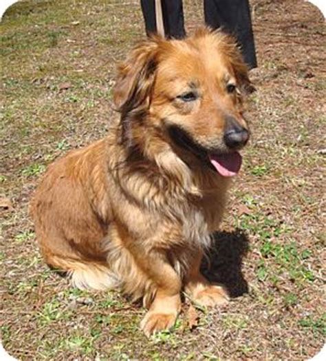 golden retriever afghan hound mix gemma adopted pittsboro durham nc golden retriever basset hound mix
