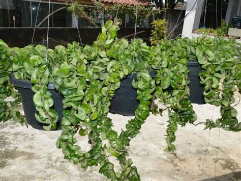 houseplant vine hoya compacta hindu rope plant world of succulents