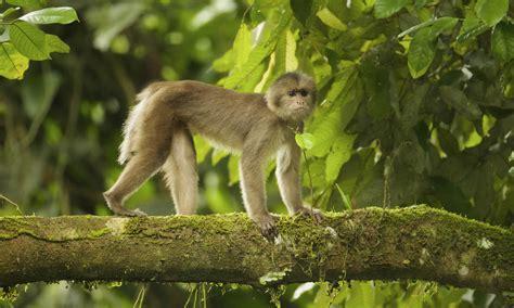 monkeys swinging monkey swinging through the rain forest magazine