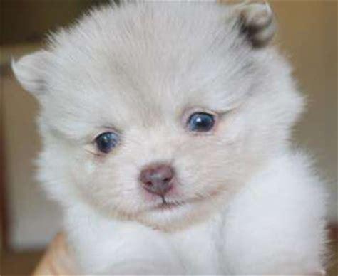 white pomeranian blue pomeranian eye color