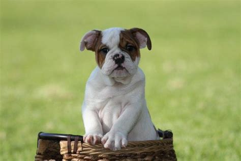 puppies for sale inland empire gorgeous bulldogs for sale riverside inland empire dogs for sale