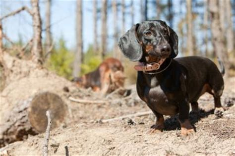 miniature dachshund facts lovetoknow