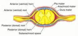 spinal meninges definition of spinal meninges by