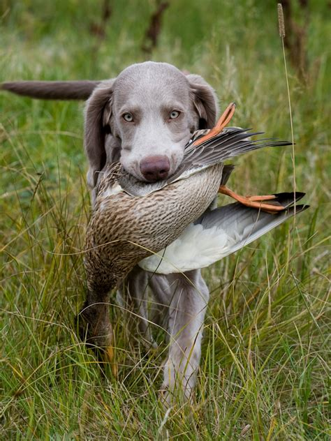 best duck dogs top 10 breeds the cozy pet