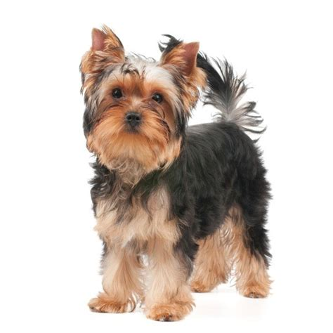 yorkie knee problems facts about terriers thriftyfun