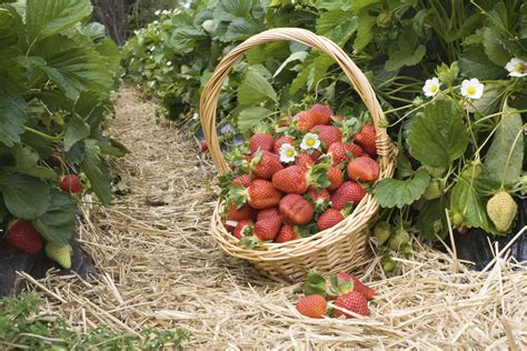 come bagnare le piante quando si va in vacanza coltivazione della fragola di ilprim 242 orto