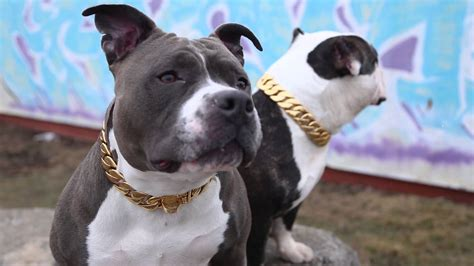 gold chain for dogs gold collar collection big chains