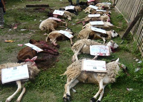 Kambing Kurban animals qurban heriyantiperdana