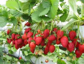Strawberry Plant Strawberries Malaysian Food Diary