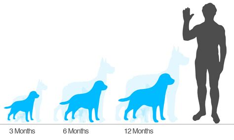 golden retriever height golden retriever height about animals
