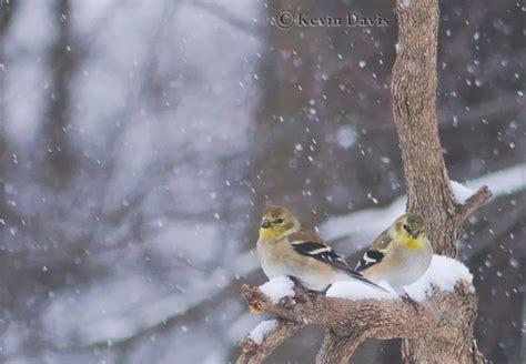 backyard bird photography backyard bird photography kevin davis photography