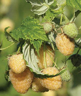 anne raspberry plants, how to grow fruit plants at burpee.com