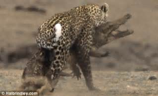 pictured: the incredible moment a leopard attacks a