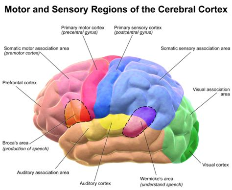 sensory and motor areas of the brain my ma vie fran 231 aise 174
